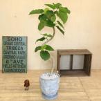 観葉植物:フィカス ウンベラータ*カトリーヌ 受け皿付 大型ヤマト便配送