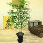観葉植物:ウンナンシュロチク*雲南棕櫚竹 しゅろちく(大型ヤマト便配送)