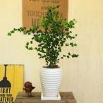 観葉植物:フィカス ベンジャミン バロック陶器鉢(受け皿付き)*べんじゃみん バロック