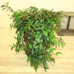 観葉植物:エスキナンサス マルメラータ*陶器鉢ブラウン 受け皿付き