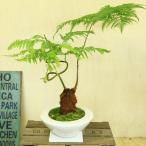 希少品種・観葉植物:ゴールデンモンキー(孫悟空)*タカワラビ(特大)・あすか陶器鉢(受け皿・苔付)