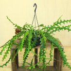 観葉植物:エピフィルム アングリガー*吊り鉢