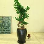 がじゅまる 観葉植物:ガジュマル 多幸の木 陶器鉢ブラック *昇り竜 精霊の樹 受け皿付 飾りヤシ