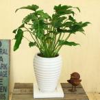 くっかばら 観葉植物:クッカバラ 陶器鉢*受け皿付