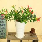 観葉植物:エスキナンサス スペキオスス*陶器鉢 受け皿付