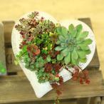 観葉植物:セダム エケベリア 多肉植物 ハートの寄せ植え*アンティーク heart