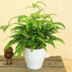 観葉植物:アジアンタム モノカラー*陶器鉢 受け皿付