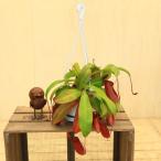 食虫植物:ウツボカズラ ネペンテス レディラック*吊り 観葉植物