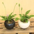 球根植物:ドリミオプシス・マクラータ*モダン陶器鉢 受皿付