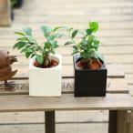がじゅまる 観葉植物:ガジュマル*ハイドロカルチャー 陶器鉢カバー