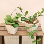 観葉植物 多肉植物:ホヤ*カルノーサ ハートホヤ リップカラー 陶器鉢 ほや 飾りヤシ