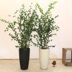 おしゃれ 観葉植物:バロック フィカスベンジャミン(ベンジャミナ)*コルチナ 大型ヤマト便