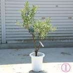 観葉植物 おしゃれ:オリーブの木 *SOUJU(創樹) シプレッシーノ 現品選べます