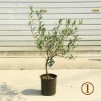 観葉植物 おしゃれ:オリーブの木 5号*SOUJU(創樹) ネバディロブロンコ 現品選べます