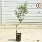 観葉植物 おしゃれ:オリーブの木 6号*SOUJU(創樹) ネバディロ・ブランコ 現品選べます