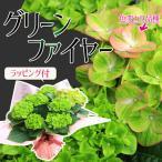 遅れてごめんね 母の日ギフト:秋色あじさい(紫陽花) グリーンファイヤー*ラッピング付 花 鉢植え 鉢花 アジサイ