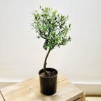 おしゃれ 観葉植物:オリーブの木 5号*SOUJU(創樹)*プラポット