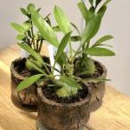 塊根植物 観葉植物:選べるアリ植物 鉢植え*受皿付 ベッカリー セレビカム パプアナム