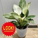 おしゃれ 観葉植物:フィロデンドロン バーキン*プラポット