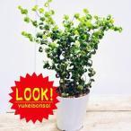 観葉植物:フィカスベンジャミン ベンジャミナバロック* 5号 プラポット