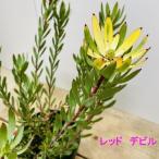 おしゃれ 希少品種 観葉植物 ギンヨウジュ:リューカデンドロン* 5号 各種