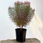 おしゃれ 希少品種 観葉植物 オーストラリアンプランツ:ジョーイセルリア カルメン*7号