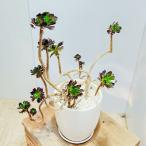 おしゃれ 観葉植物 多肉植物:アエオニウム 黒法師寄せ*陶器鉢 受皿付