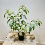 苗 ハーブ 観葉植物:レモンユーカリ*シトリオドラ