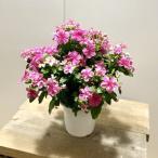 鉢花 観葉植物:ニチニチソウ シャガール*5号 日日草