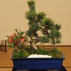 ギフト盆栽:五葉松・長寿梅寄せ植えB*