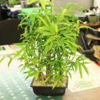 竹盆栽:大福竹(仏肚竹)ぶったんちく ブッタンチク*