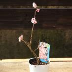 苗:十月桜(じゅうがつさくら)*鉢に植え替えサービスもあり