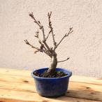 特選苗・庭木苗:河津桜(かわづさくら)2月頃に桃色の早咲き