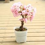 盆栽素材:一才桜(さくら)プラポット*ぼんさい ボンサイ さくら盆栽