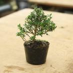 苗・盆栽苗:八房ツゲ(つげ)(ツゲ) 小品盆栽に最適