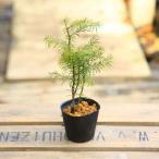 盆栽素材 苗:トド松(とどまつ)*