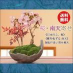 盆栽:桜・南天寄せ植え(信楽焼鉢)*