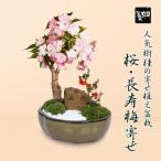 父の日ギフト 盆栽:桜・長寿梅寄せ植え(瀬戸焼鉢)*葉姿でのお届け
