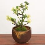 即日出荷可 父の日ギフト ミニ盆栽:白花長寿梅(瀬戸焼織部釉鉢)*