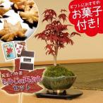 敬老の日ギフト 小品盆栽:出猩々もみじ(信楽焼鉢)もみじの天ぷらセット*