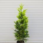 庭木:コニファー(ゴールドライダー) 樹高:約150cm 全高:約160cm ヤマト便(大型商品)発送!