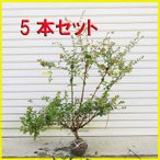 庭木:アベリア(あべりあ)5本セット*お得 (まとめ割)