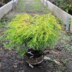庭木:フィリフェラオーレア