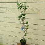 庭木:チョコベリー(アロニア)