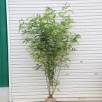 庭木:シマトネリコ 株立ち 常緑樹* シンボルツリー 樹高:約170cm 全高:約180cm SGW大型商品発送