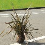 庭木:銅葉ニューサイラン(プルプレア)