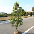 庭木:姫イチゴノキ/ストロベリーツリー(白花)* 樹高:約120cm ヤマト便大型商品発送