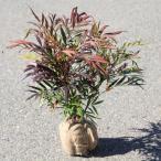 庭木:マホニアコンフューサ(細葉ヒイラギナンテン)