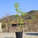 庭木:青柳もみじ 樹高:90cm