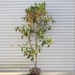 庭木:キンモクセイ(金木犀)(根巻き) *樹高:100-120cm 地堀り苗だからできる大きさ
